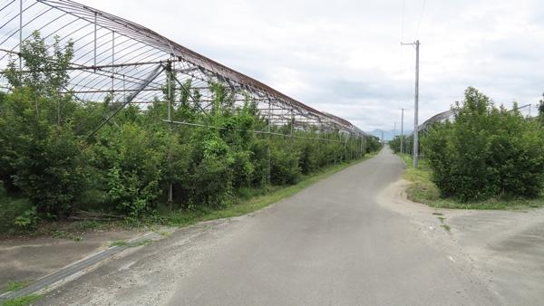 サクランボ畑